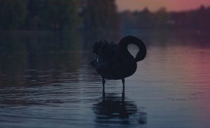 goose in water at sunset